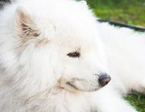 Weißer Samoyedhund legt auf ein grünes Gras Lizenzfreies Stockfoto