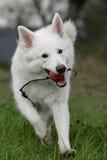 Weißer Schäferhund Lizenzfreies Stockbild
