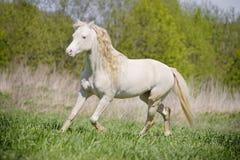 Weißer schöner Stallion, der durch Feld läuft Lizenzfreie Stockfotografie