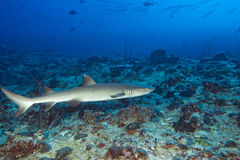 Weißer Spitze Haifisch Lizenzfreie Stockbilder