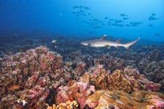 Weißer Spitze Haifisch Stockfotos