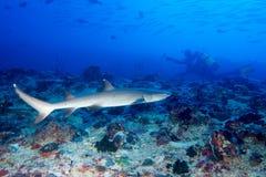 Weißer Spitze Haifisch Stockbild