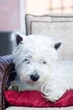 Weißer Terrier, der auf einem roten Kissen liegt Stockfotografie
