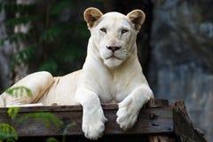 Weißer Tiger Stockfotos