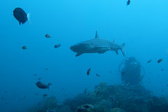 Weißer Tipp Haifisch Lizenzfreies Stockbild