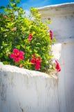 Weißer Wand-Rot-Hibiscus Lizenzfreies Stockbild
