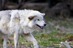 Weißer wilder Wolf, der sich vorbereitet anzugreifen Lizenzfreie Stockfotos