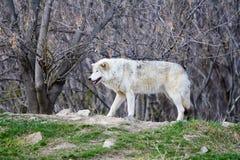 Weißer wilder Wolf in einem forrest Stockfotos