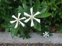 Weißer wohlriechender Kap-Jasmin im Blumengarten Lizenzfreies Stockfoto
