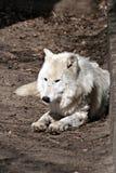 Weißer Wolf Lizenzfreie Stockbilder