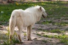 Weißer Wolf Lizenzfreies Stockbild