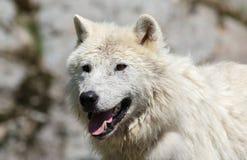 Weißer Wolf in der Natur Stockfotos