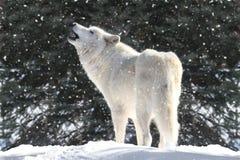 Weißer Wolf im Schnee Lizenzfreie Stockfotos