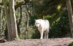 Weißer Wolf Walking Lizenzfreies Stockfoto