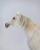 Weißes arabisches Pferd Lizenzfreie Stockfotos