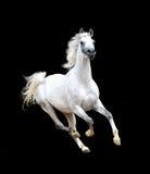 Weißes arabisches Pferd lokalisiert auf schwarzem Hintergrund Lizenzfreies Stockbild