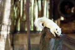 Weißes Eichhörnchen Lizenzfreies Stockbild