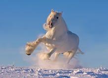 Weißes Grafschaftpferd, das in den Schnee läuft Lizenzfreie Stockfotografie