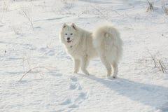 Weißes Hundsamoyedspiel auf Schnee Stockfotografie