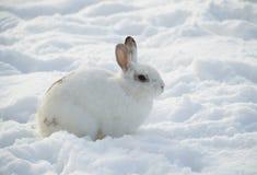Weißes Kaninchen im Schneeprofil Lizenzfreie Stockfotografie
