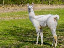 Weißes Lama cria Stockbild
