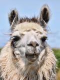 Weißes Lama-Portrait Stockfotos