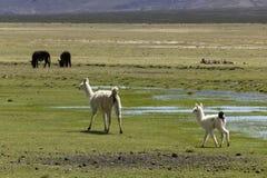 Weißes Mutter- und Babylama Stockfoto