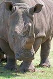 Weißes Nashorn Stockfoto