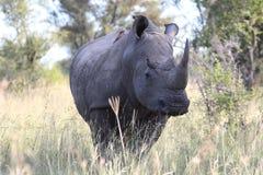 Weißes Nashorn Lizenzfreie Stockfotos