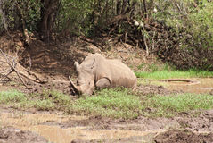 Weißes Nashorn an der Pilanesberg-Spiel-Reserve, Südafrika Stockfotografie