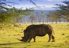 Weißes Nashorn in Nationalpark See Nakuru Stockbilder