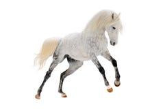 Weißes orlov Pferd Stockfotos