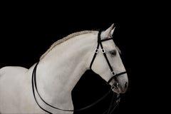 Weißes Pferd auf Schwarzem Stockfoto