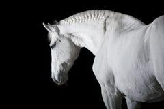 Weißes Pferd auf schwarzem Hintergrund Stockfoto