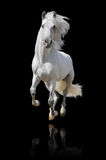 Weißes Pferd getrennt Stockfoto