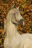 Weißes Pferd pura raza espanola im Herbst Stockbild