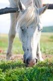 Weißes Pferd am Sommer Stockfotografie