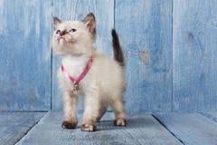 Weißes siamesisches Kätzchen am Purpleheart Lizenzfreies Stockbild