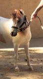 Weißes und braunes Miniaturpferd, das einen Halter trägt Stockbild