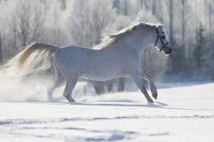 Weißes Waliser-Pferd, das in Winter läuft Stockfoto