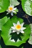 Weißes Wasser blüht lilly (Lotos) Stockfotos