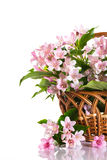 Weigel beautiful blooming flowers Royalty Free Stock Photos
