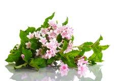Weigel beautiful blooming flowers Stock Photo
