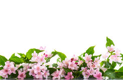 Weigel beautiful blooming flowers Stock Image