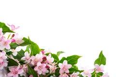 Weigel beautiful blooming flowers Stock Photos