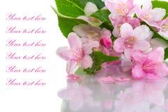 Weigel beautiful flowers Stock Photography