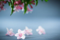 Weigel beautiful pink flowers Stock Photography