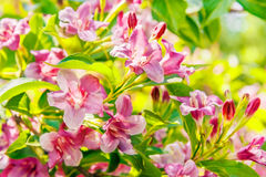Weigel flowers closeup. Weigel pink flowers close up in a sunny spring day Royalty Free Stock Photo