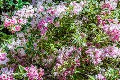 Weigela 'Nana-variegata 'in der Blüte im Garten stockbilder