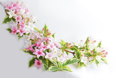 Weigela Fotografie Stock